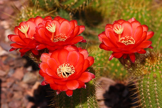 Cactus Flowers | by jhaskellus
