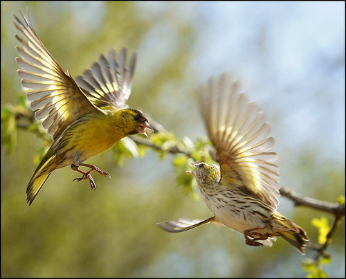 Siskin squabble | by mike turtle