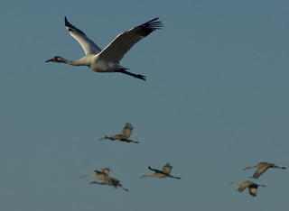 Payne's Prairie: Whooping Crane | by DaseinDesign