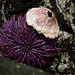 Sea Urchin with a Hat