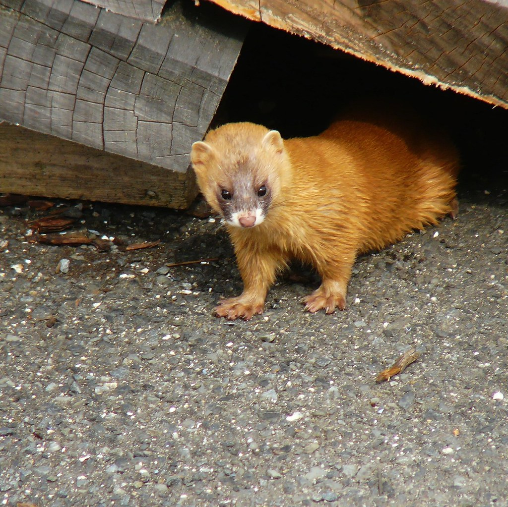 Siberian Weasel This Guy Is Walking Around My House Www