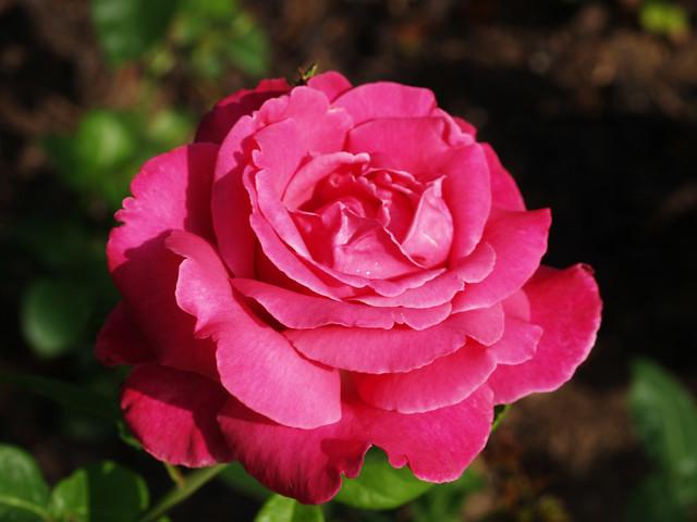 Роза сорта  Каприз де Мейян, фото фотография цветы