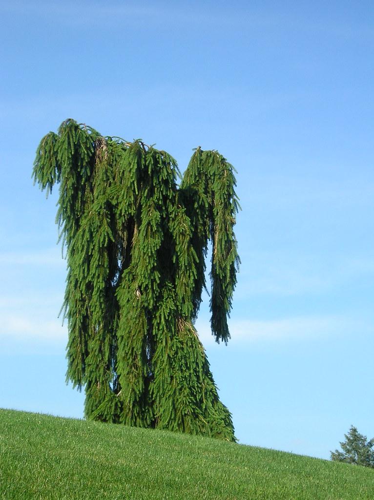 Weeping Norway Spruce (Picea abies) | marsupialrobot | Flickr