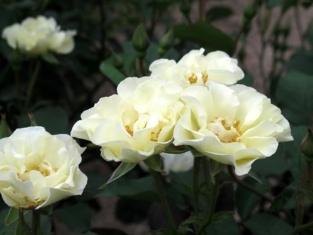 rose weise aus sparrieshoop flickr photo sharing. Black Bedroom Furniture Sets. Home Design Ideas
