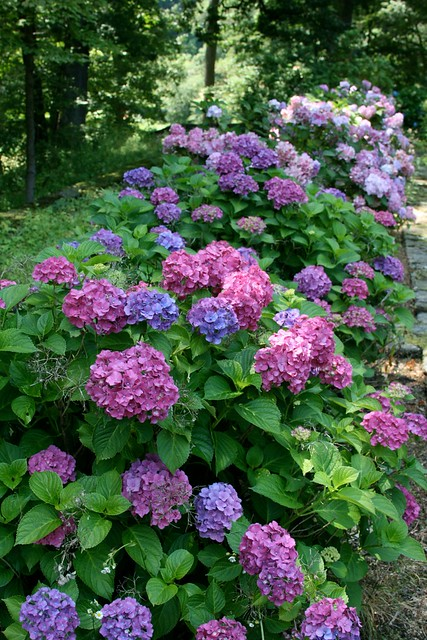 hydrangeas in the cutting garden near the peony garden