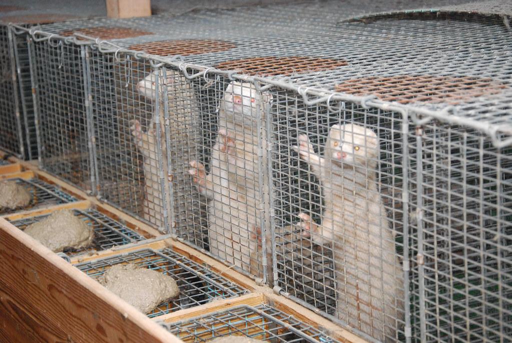 Flere Minkbur Nettverk For Dyrs Frihet Network For