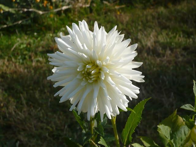 fleur blanche du dahlia tournant le dos au soleil. Black Bedroom Furniture Sets. Home Design Ideas