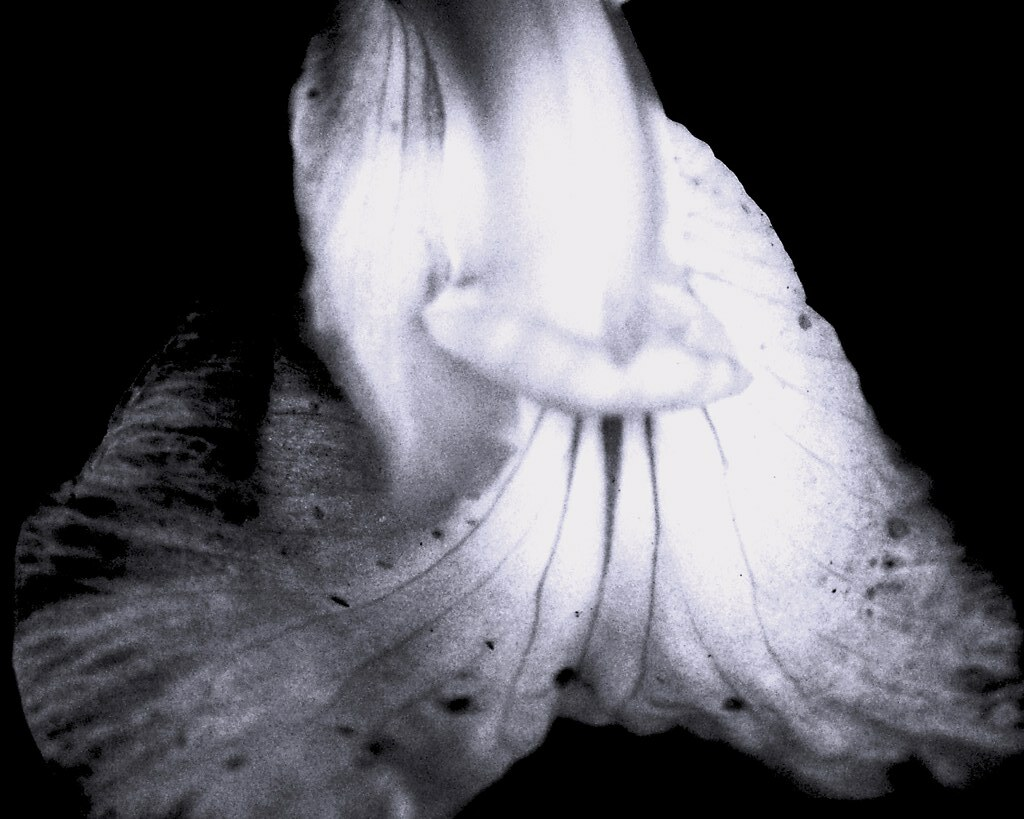 One Petal in Black and White | I love to play with images ...