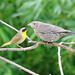 Common Yellowthroat with Juvenile Cowbird 2