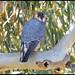 0200_2212 Australian Hobby Falcon  - Race murchisonianus