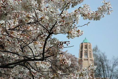 White pink Cherry Tree and Collegiate Gothic Art Tower, University of Washington, Seattle, USA