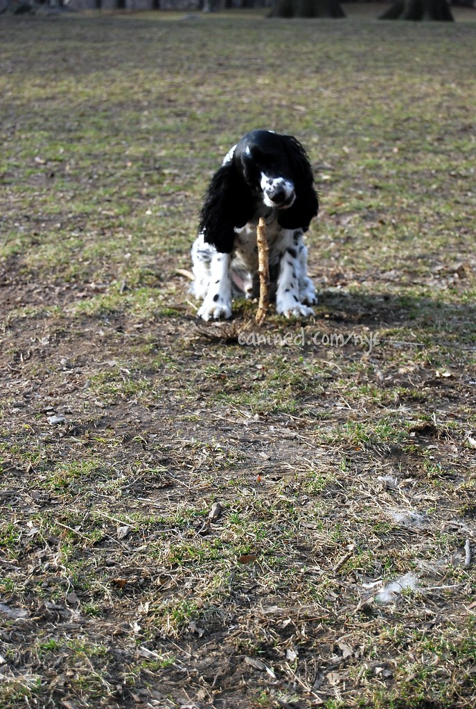 canined black white cocker spaniel dog central park nyc 31 ...