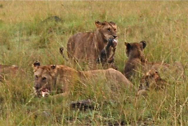 What do white lions eat - photo#50