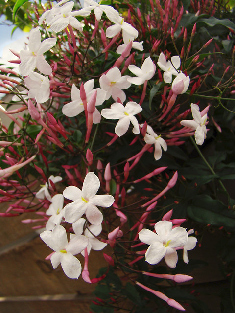 Pink Jasmine On A Rainy Day Jasminum Polyanthum The