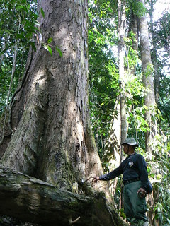 Inspecting a giant tree | by East Asia & Pacific on the rise - Blog