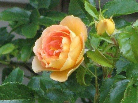 Summer Rose | by Sue Frause