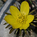 Eranthis, Winter Aconite