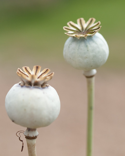 Opium poppy seed pods taken during the scott kelby photowa flickr opium poppy seed pods by davidttos mightylinksfo