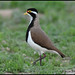 0308_3356 Banded Lapwing