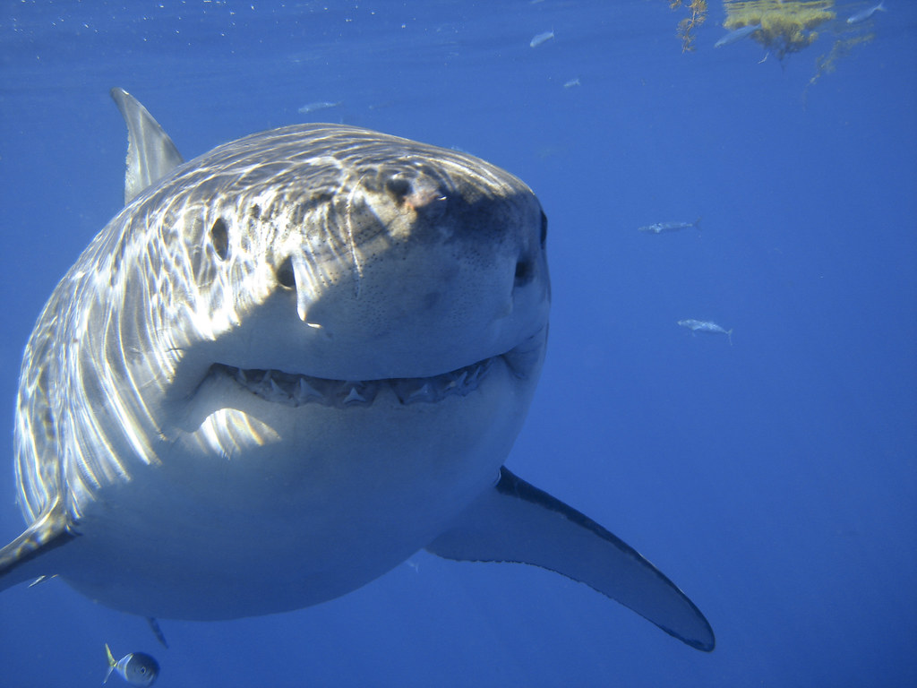 Great White Shark Drawing Great White Shark Smil...