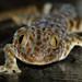 Golden Eye gecko