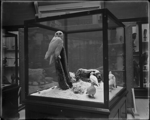 Snowy Owl, Willow ptarmigan, Arctic Fox | by The Field Museum Library