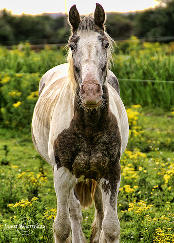 Worlds Ugliest Horse Ugliest horse in the world