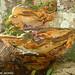 Cogumelos // Mushrooms (Phellinus torulosus)