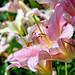 pink stargazer lilies [explore FP ... TY!]