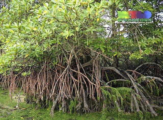 rhizophora apiculata  prop and stilt roots