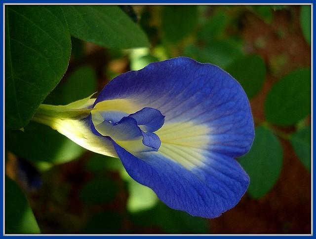 Clitoria Terneata  Clitoria Terneata The Flowers Of -1691