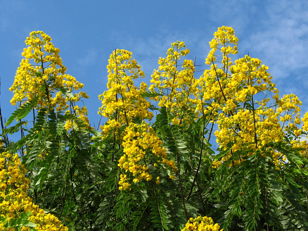 Yellow Tree Flowers Image Collections Flower Decoration Ideas