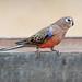 0425_2101 Bourke's Parrot