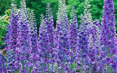 ENGLISH COTTAGE GARDEN FLOWERS DELPHINIUMS