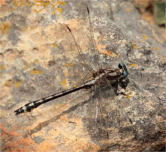 pacific_clubtail_m_gumboot_080208_MG_8206