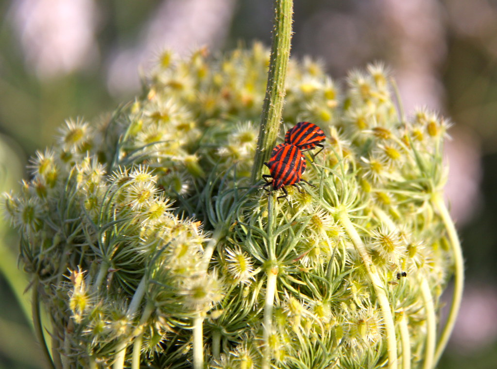 Red Bugs Black Stripes Think They May Trying