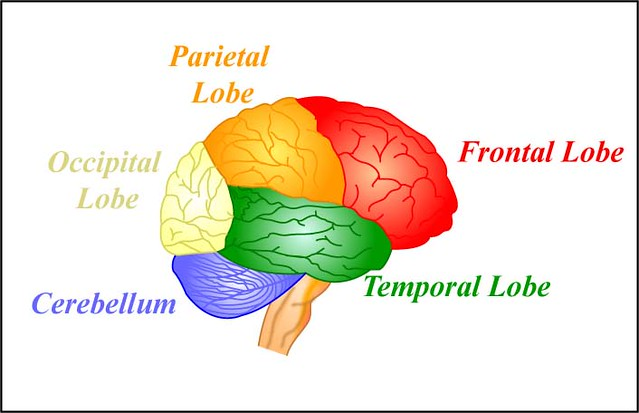 mitopencourseware brain with color coded lobes by mitopencourseware