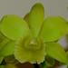 Blc Duh's Color Imp 'Green'