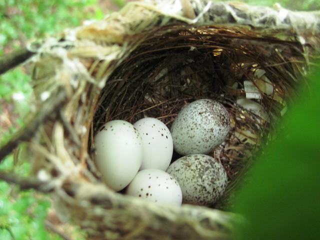 Red eyed vireo nest - photo#16