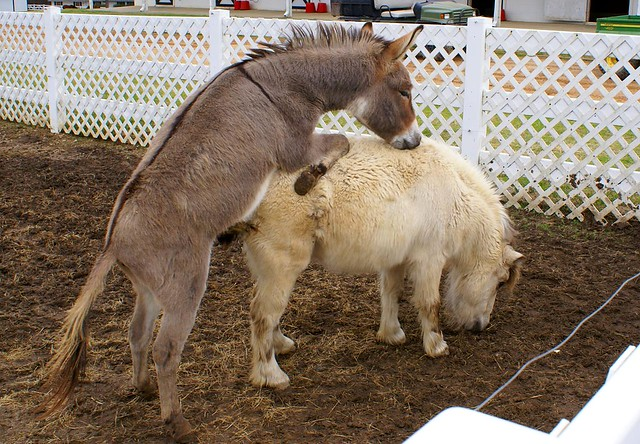 Miniature Donkey Suprise Sexes a Pony | Frito the ...