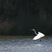 Flying Egret 1