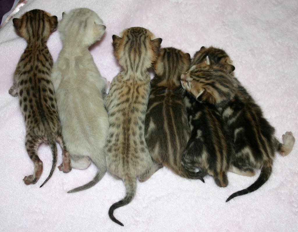 Bengal litter with frosted snow, frosted spotted & frosted ...