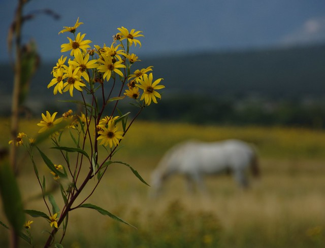 Flowers of freedom taos nm by amitabh t flickr photo sharing - Flowers that mean freedom ...