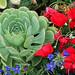 Aeonium hierrense rosette