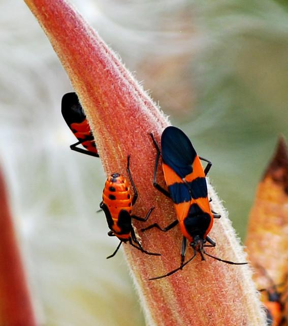 weird orange and black bugs jan crites flickr. Black Bedroom Furniture Sets. Home Design Ideas