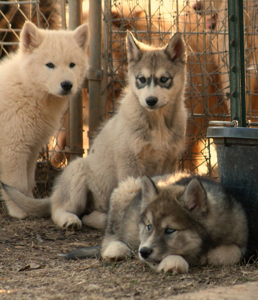 Wolf-Dog Cubs/Puppies - IMG_4585_FLICKR | Denali, Timber ...