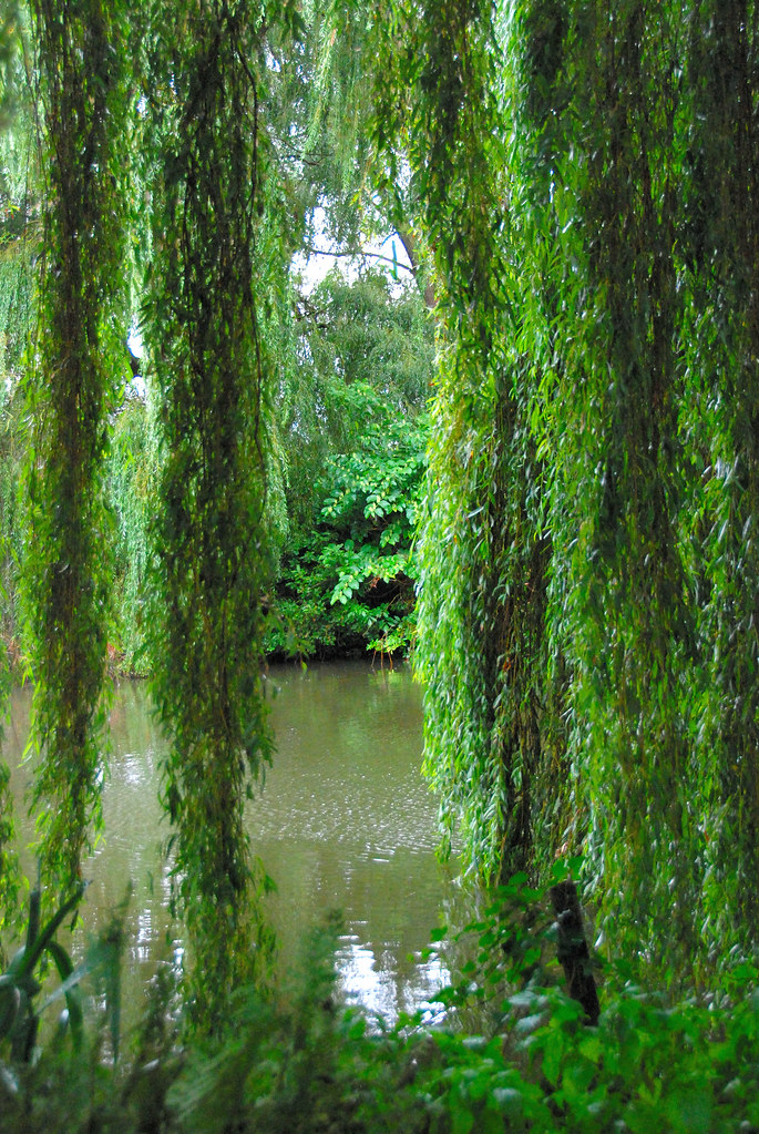 The beth chatto gardens weeping willow or sweeping willo for Weeping garden trees