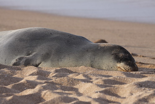 sleepy seal slumbers | by TurasPhoto