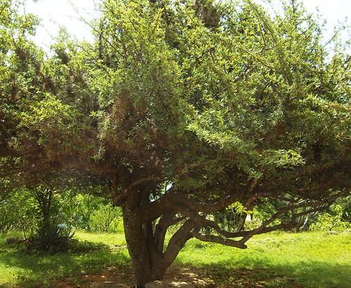 Copal tree flickr photo sharing for Trees garden of jane delawney blogspot