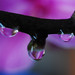 Orchid in waterdrops
